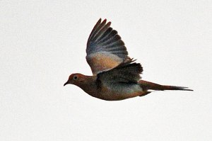 Mourning-dove-in-flight040214