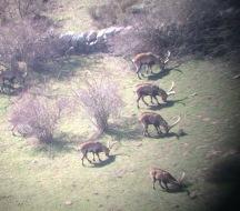 Free range Ibex