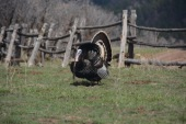 Strutting-Tom-turkey-Dancing-pines