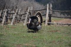 Strutting-Tom-turkey-Dancing-pines