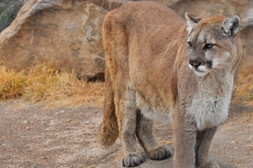 CPW-image-Mountain-lion-cougar