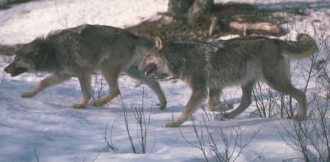 wolvesprowlinghuntforever040814-SCI