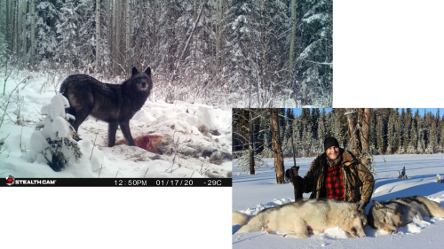 moose-country-outfitters-wolf-hunt